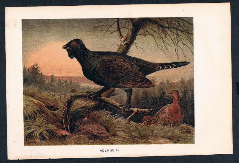 1890 - Auerhahn Hahn Vögel birds Vogel birds Farblithographie lithography