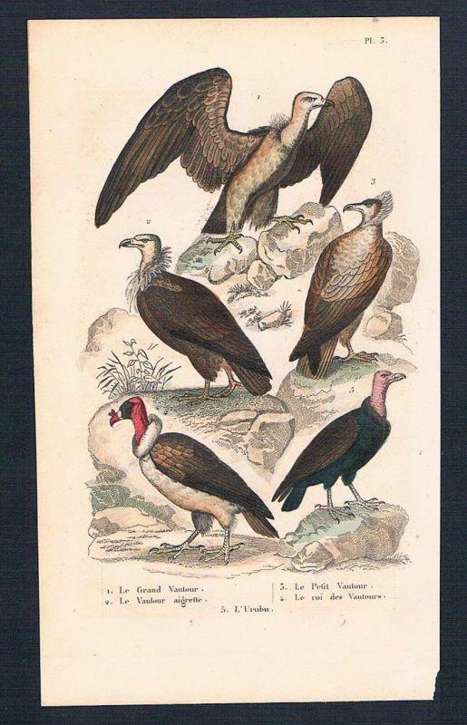 1840 - Geier vulture Vögel birds bird antique print engraving Stahlstich