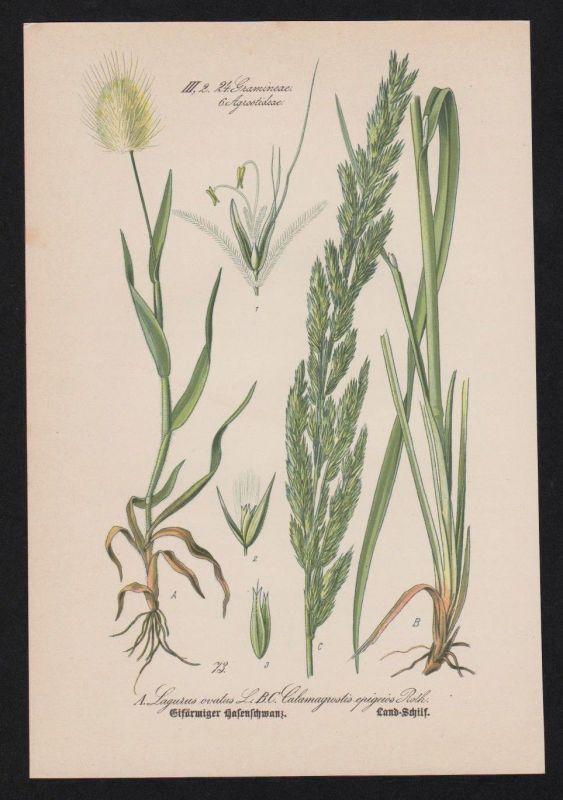 1880 - Samtgras Land-Reitgras Lithographie Kräuter Heilkräuter herbs herbal