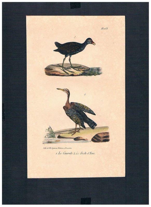 1830 - Sonnenralle sunbittern Vogel Vögel bird birds Lithographie Lithograph
