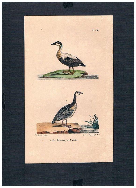 1830 - Meergänse Branta Eiderente Vogel Vögel bird birds Lithographie Lithograph