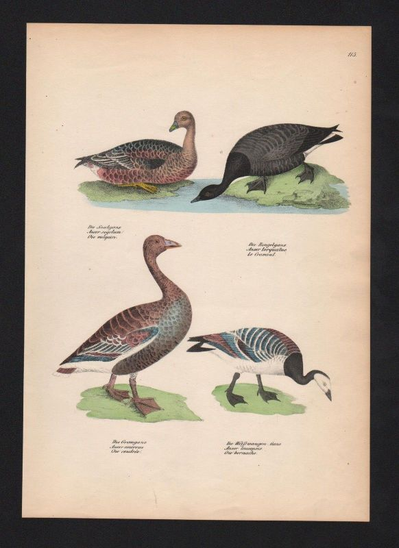 1840 - Gänse Anserinae geese Graugans Gans Vogel Vögel bird birds Lithographie