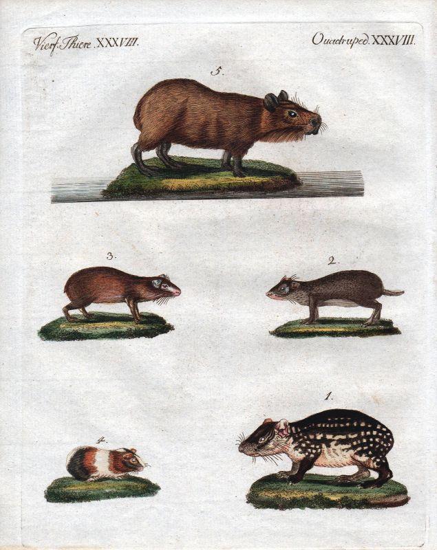 Meerschweinchen guinea pig cavia Bertuch Kupferstich engraving 1800