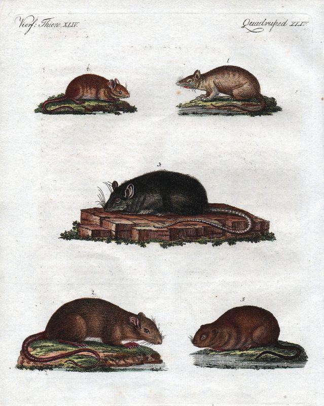Ratte Wanderratte Waldmaus Maus mouse mice rat rats Bertuch Nagetier 1800