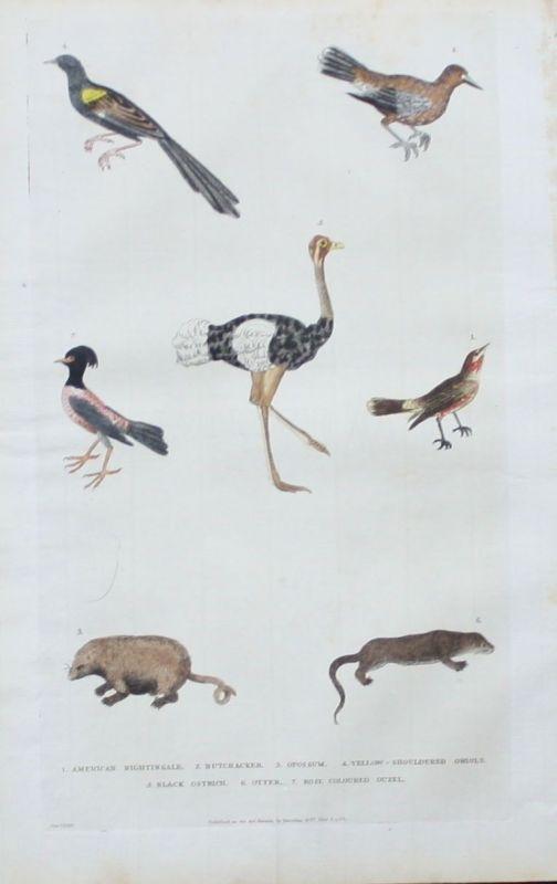 1780 - Nachtigall nightingale Vogel bird Otter animals engraving Kupferstich
