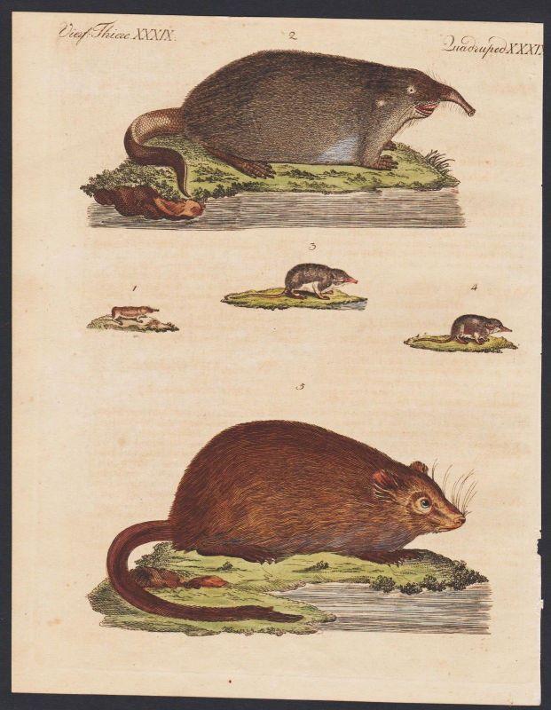 1800 - shrew Spitzmäuse muskrat Bisamratte engraving antique print Bertuch