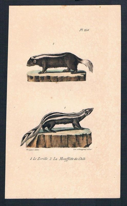 1840 - Stinktier Skunk Mouffette Zorille Original Lithographie lithography