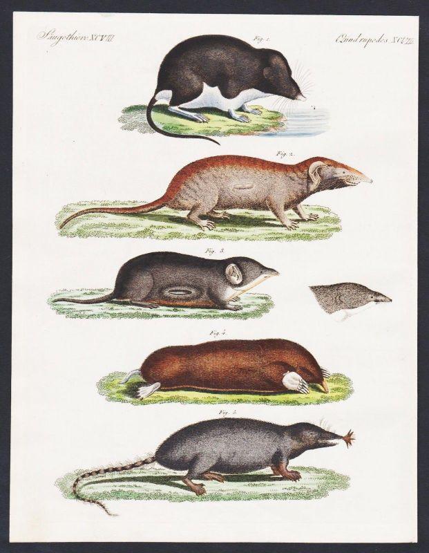 1800 - shrew mouse Russian desman Spitzmäuse engraving antique print Bertuch
