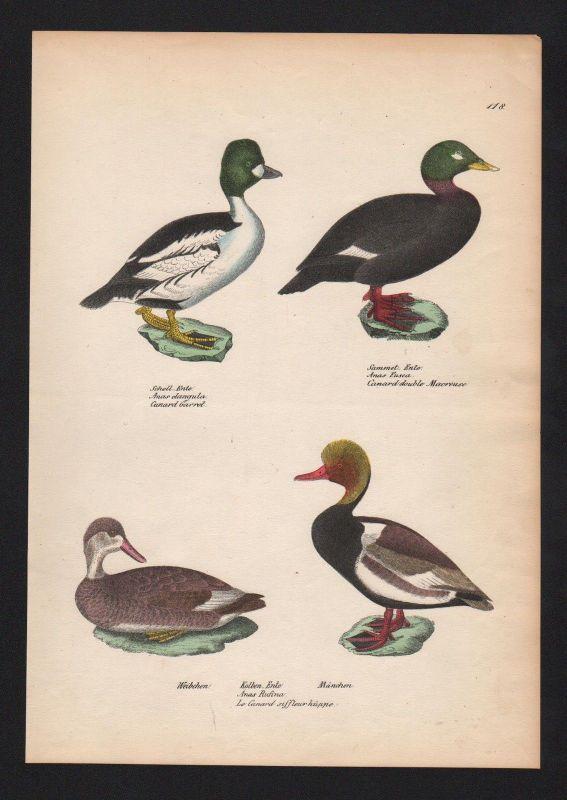 1840 - Kolbenente red-crested pochard Ente Vogel Vögel bird birds Lithographie