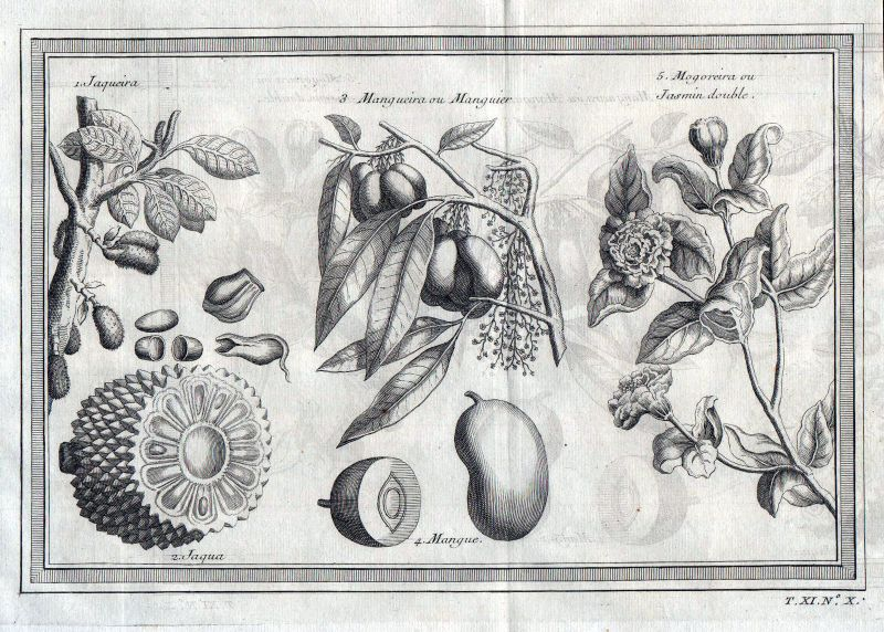 1750 Jackfrucht jackfruit Mango Jasmine botany Kupferstich antique print Botanik