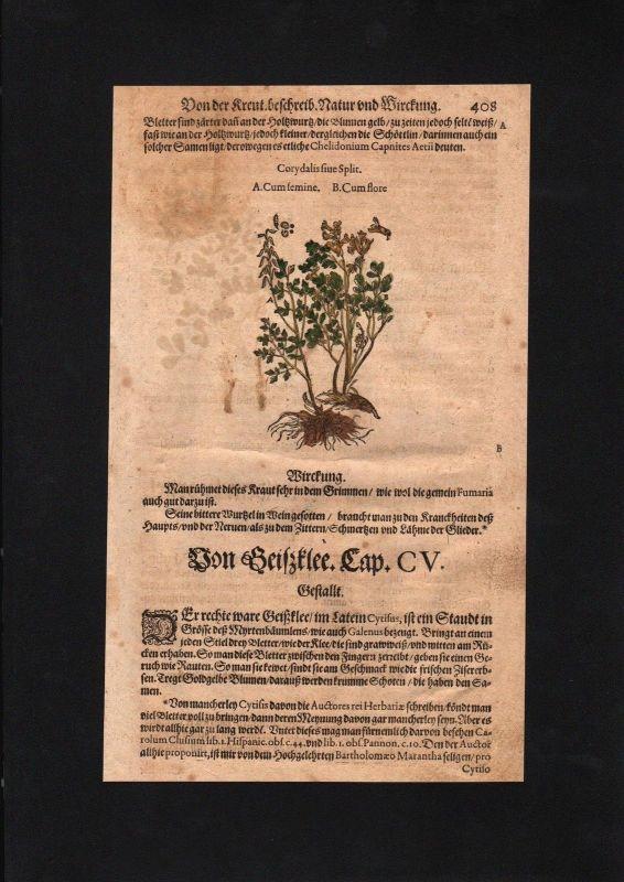 1580 - Lerchensporne Corydalis Klee herbs Herbal Kräuter Kräuterbuch Mattioli