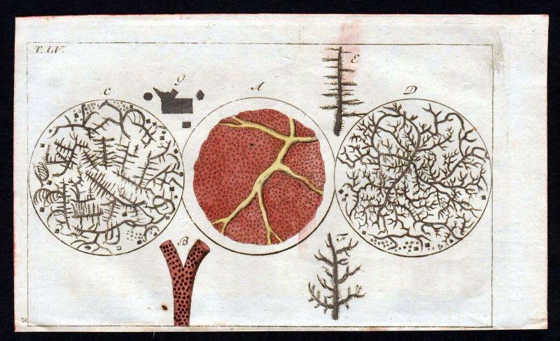 Ca. 1800 Blut blood Mikroskop Anatomie anatomy Medizin medicine Kupferstich