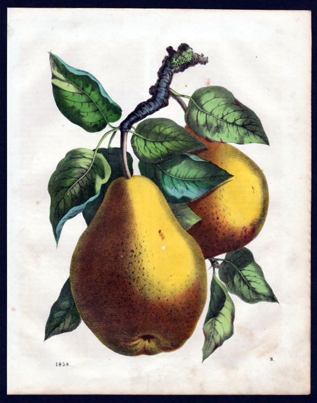1858 Williams Christ Birne Birnen pear pears Botanik Lithographie lithograph