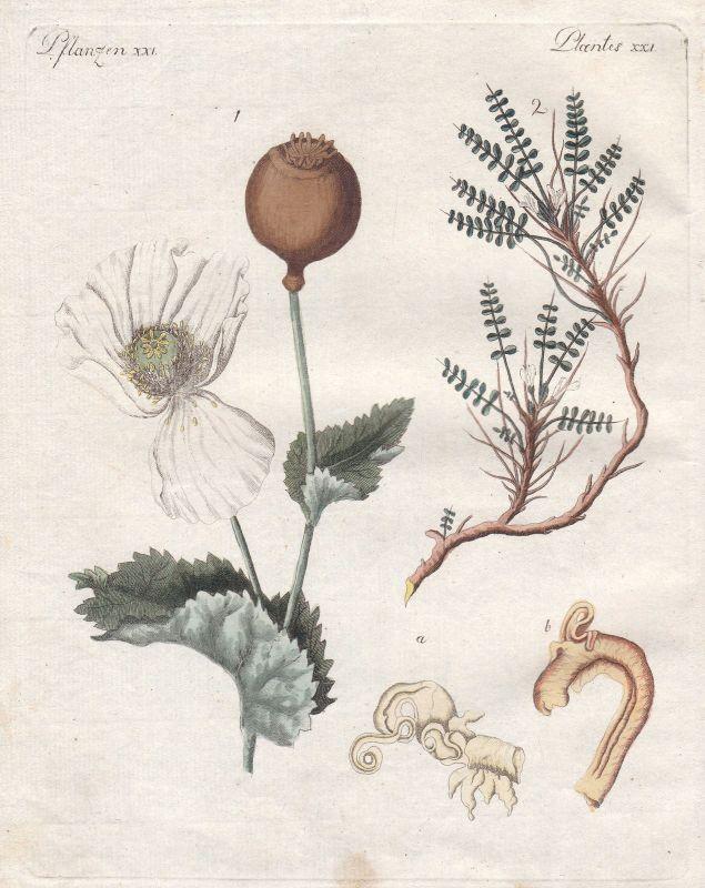 Arzneipflanze medicinally Schlafmohn Opium Pflanze plant Pflanzen Bertuch 1800