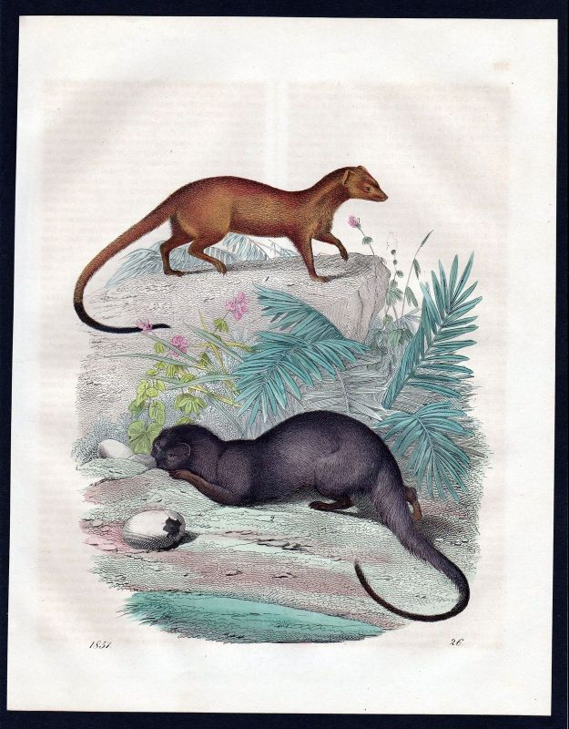 1851 Herpestes Mangusten mongoose Lithographie lithograph