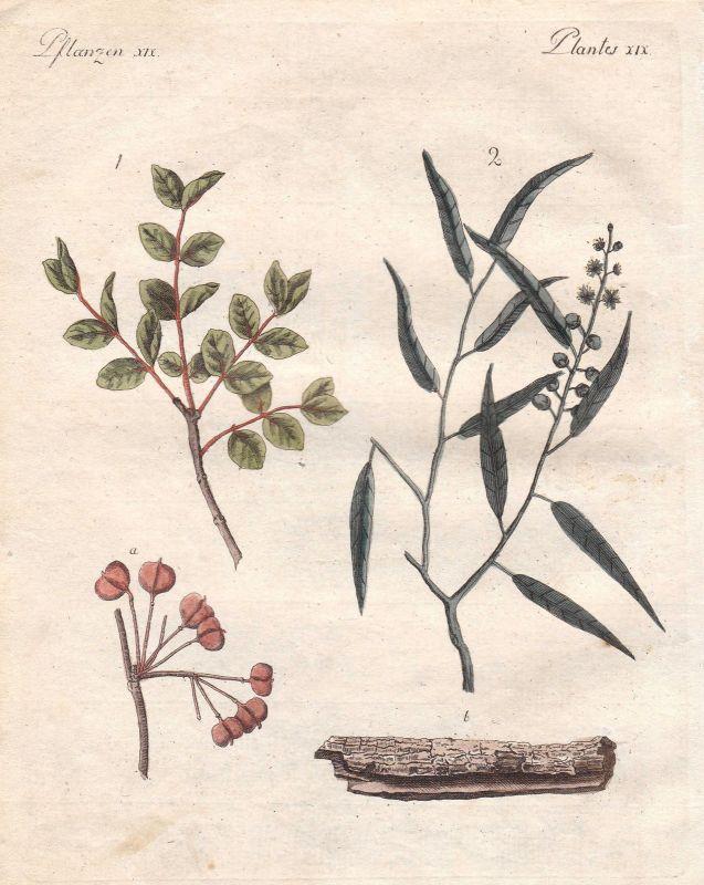 Guajak guaiacum Baum tree Pflanze plant Pflanzen plants Bertuch 1800