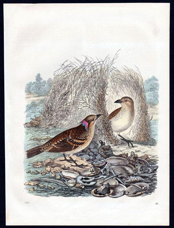 1863 Vogel bird Vögel birds Nest Lithographie lithograph