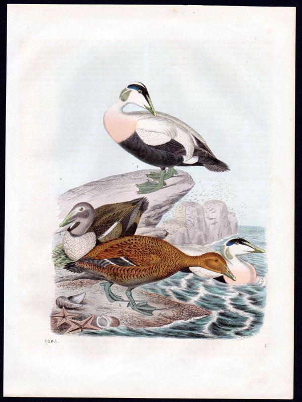 1863 Ente Enten duck ducks birds Vögel Vogel bird Lithographie lithograph