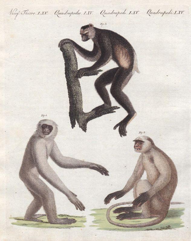Indri Moloch Entelle Affen monkeys Affe monkey Primat primate Bertuch 1800