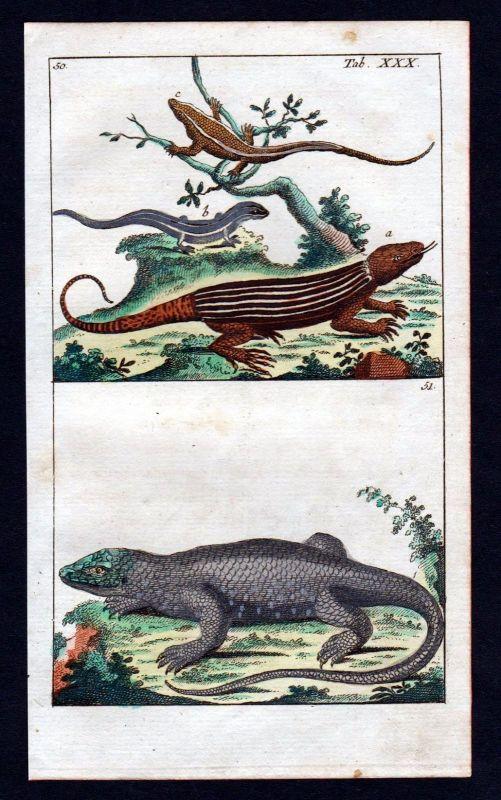 1800 Eidechse lacertidae lizard Kupferstich engraving antique print 110418