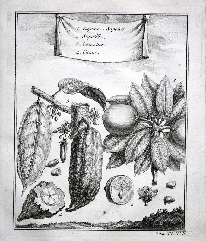 Ca. 1750 Cocoa Kakao Pflanze plant bean botany Botanik Kupferstich antique print