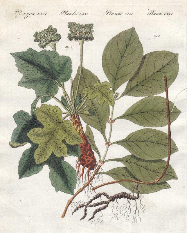 Brechwurzel ipecac Giftwurz Pflanzen plants Pflanze plant Bertuch 1800