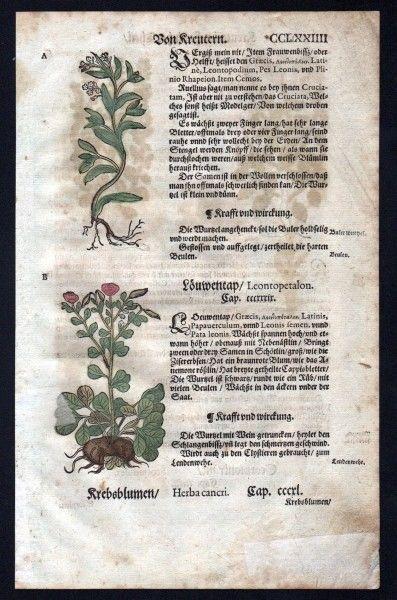 Löwentrapp Holzschnitt Kräuterbuch Kräuter herbal Lonicer, Adam: