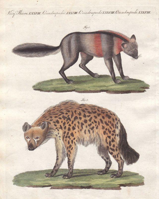 Fuchs fox Füchse foxes Hyäne hyena Hyänen hyenas Raubtier predator Bertuch 1800