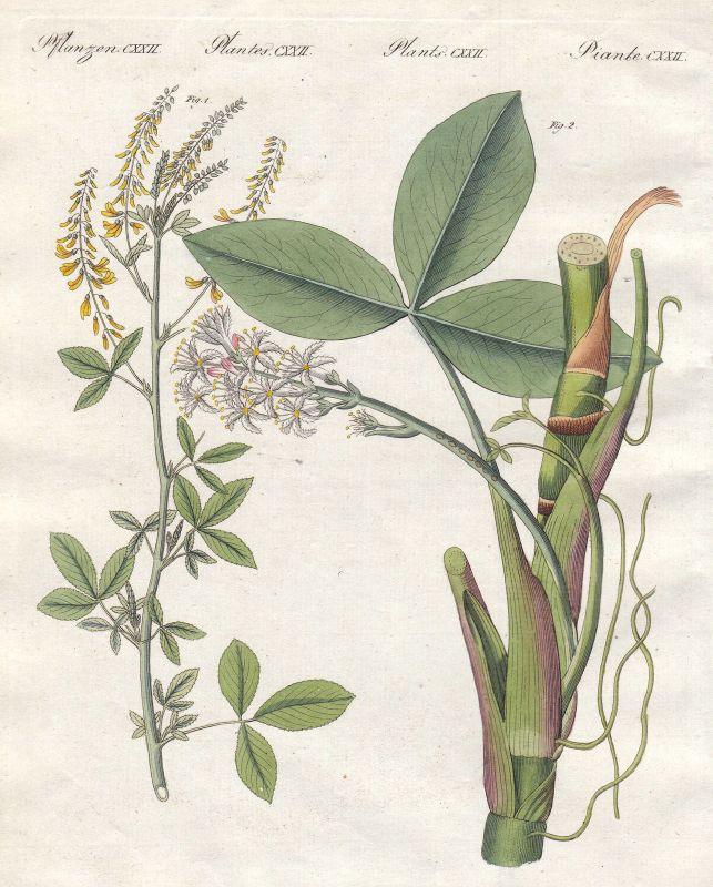 Steinklee melilotus Fieberklee menyanthes Pflanze plant Pflanzen Bertuch 1800