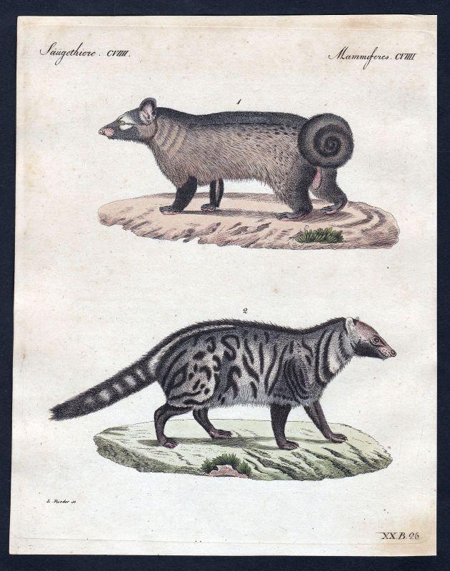 1800 Stinktier skunk Säugetier Kupferstich Bertuch antique print