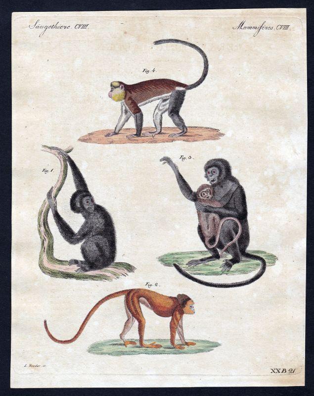 1800 Affen monkey monkeys Affe Säugetier Kupferstich Bertuch antique print