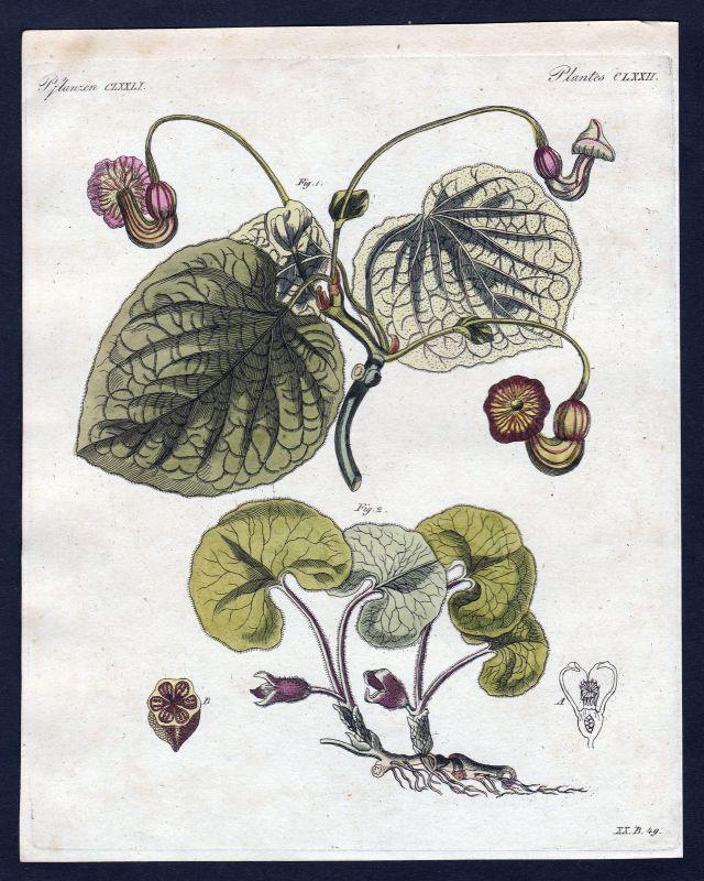 1800 Haselwurz baccara Blume Pflanze flower plant Pflanzen Kupferstich Bertuch