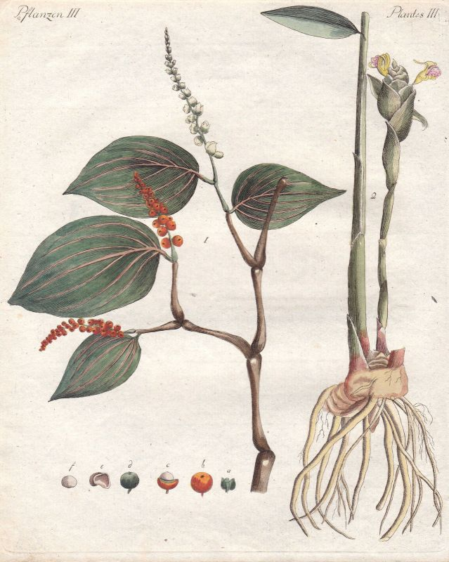 Pfeffer pepper Ingwer ginger Gewürz spice Gewürze spices Pflanzen Bertuch 1800