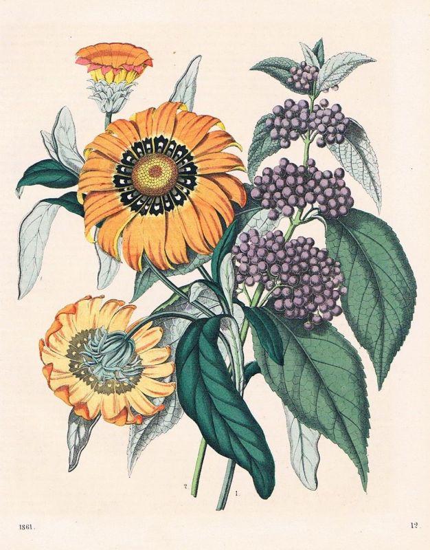1861 - Gazanien Mittagsgold Sonnentaler Blumen flower Lithographie lithography