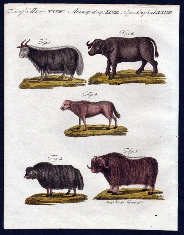 1806 - Moschusochse Ochse Büffel buffle bullock Kupferstich engraving Bertuch 0