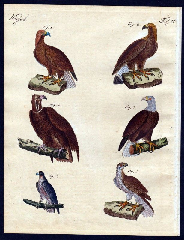 1800 - eagle falcon hawk bird birds Vogel Vögel engraving antique print Bertuch