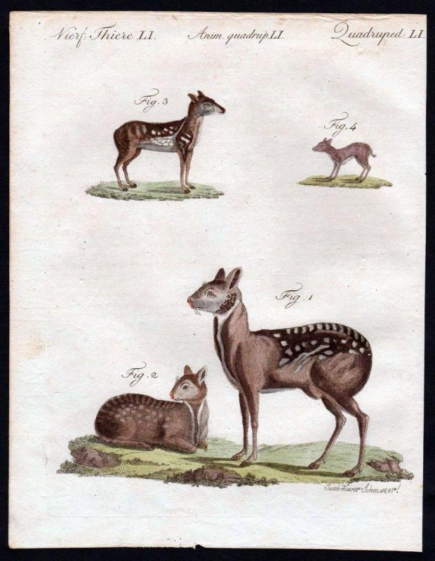 1806 - Moschushirsch Hirsch deer Bisamtier Kupferstich engraving Bertuch 0