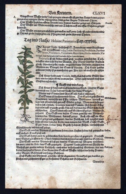 1580 - Glaskräuter Tännelgewächse herbal Kräuter Kräuterbuch Lonicer Holzschnitt 0