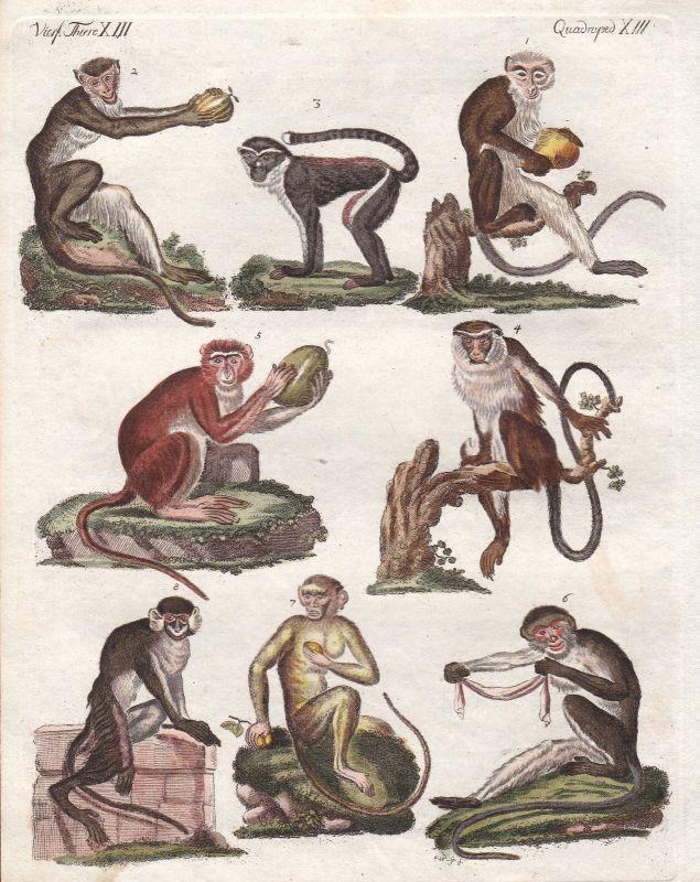 Meerkatzen guenon Affe monkey Affen monkeys Primat primate Bertuch 1800