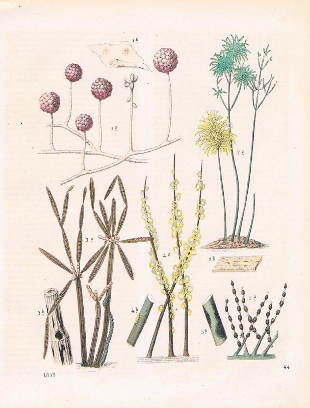 1859 - Schimmelpflanze Schimmel mold plant Lithographie lithograph