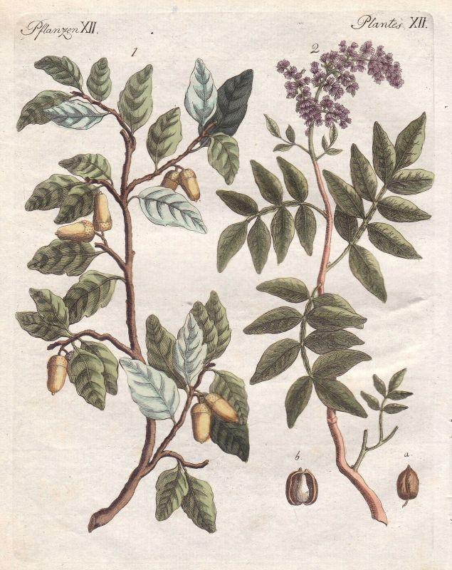Korkbäume phellodendron Terpentin Baum tree Pflanzen plants Bertuch 1800 0