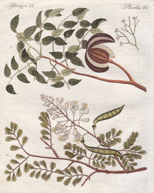Mahagoni Mahagonigewächse Amerika America Baum tree Pflanze plant Bertuch 1800