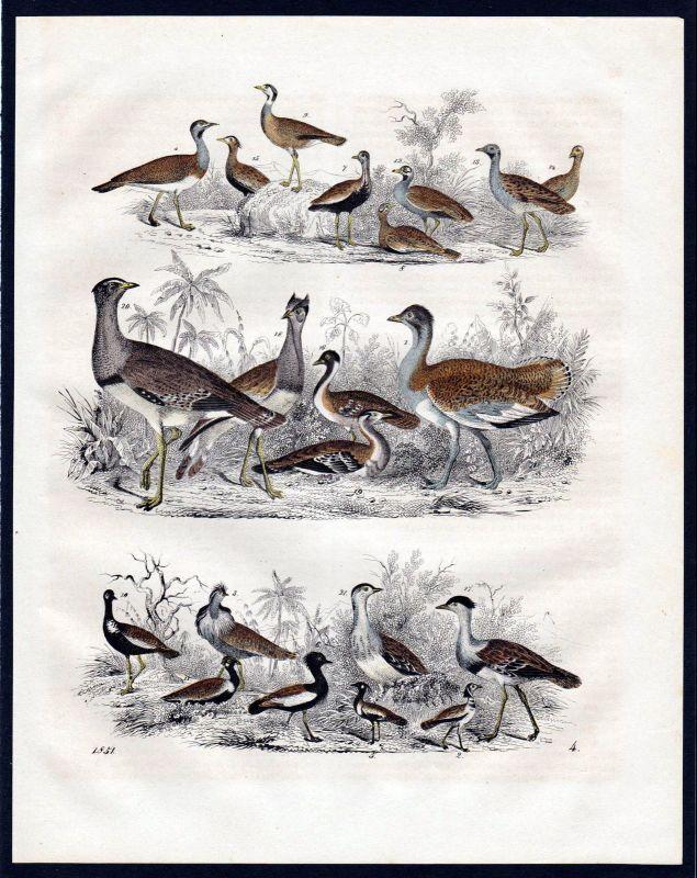 1851 Trappen bustard Sumpfvögel Vogel bird birds Lithographie lithograph Vögel