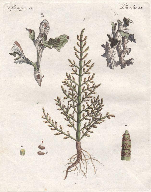 Arzneipflanze medicinally Moos moss Pflanze plant Pflanzen plants Bertuch 1800