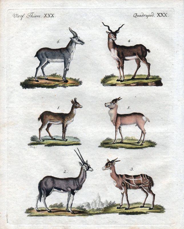 Antilopen Antilope Gazellen antelope gazelle Kupferstich engraving Bertuch 1800