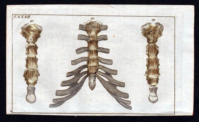 Ca. 1800 Brustbein sternum Anatomie anatomy Medizin medicine Kupferstich