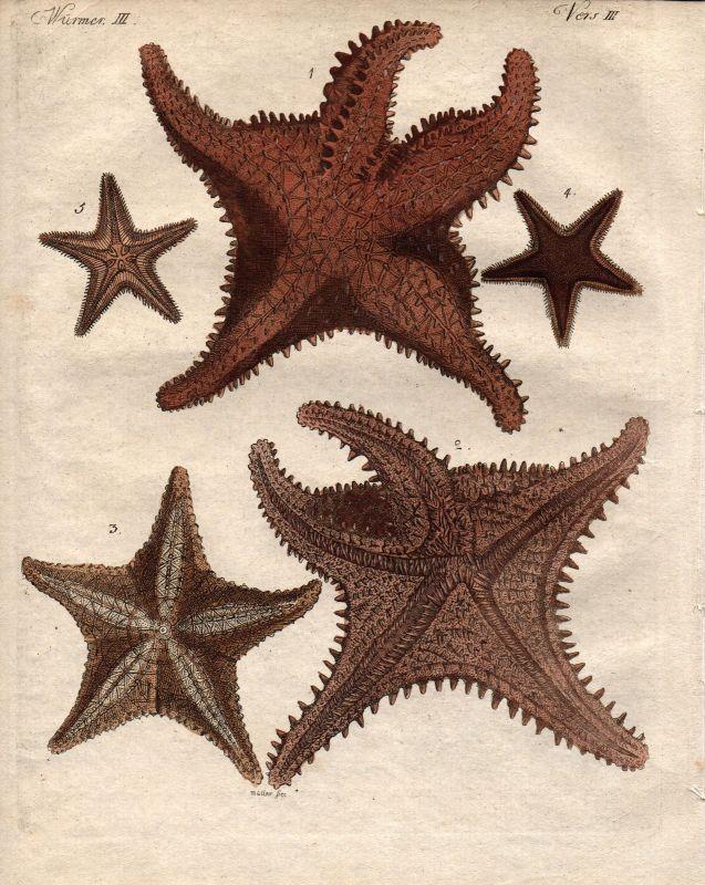 Meerstern Stern des Meeres starfish Kupferstich engraving Bertuch 1800