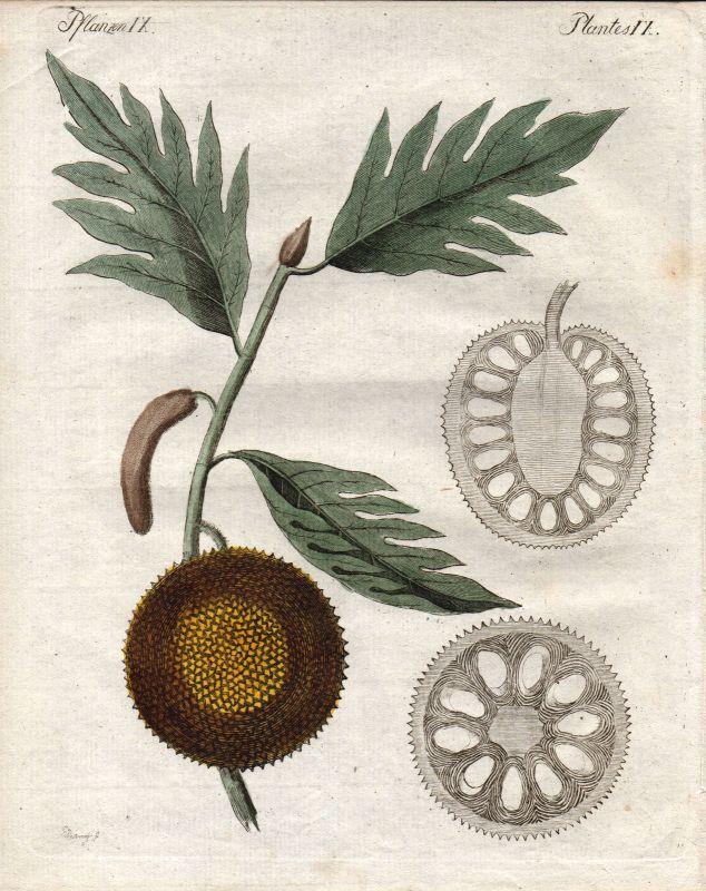 Brotfruchtbaum Breadfruit tree Pflanze plant Botanik botany Bertuch 1800