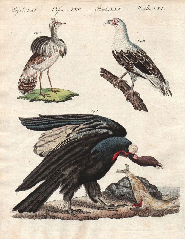 Geier vulture Kondor condor Südamerika Kragentrappe Vögel birds Bertuch 1800