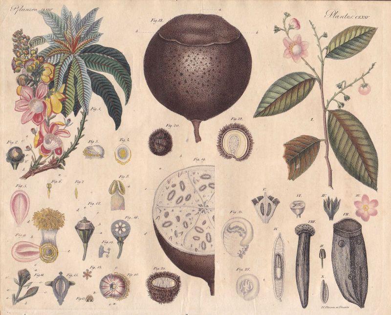 Kanonenkugelbaum couroupita guianensis Baum tree Pflanze plant Bertuch 1800